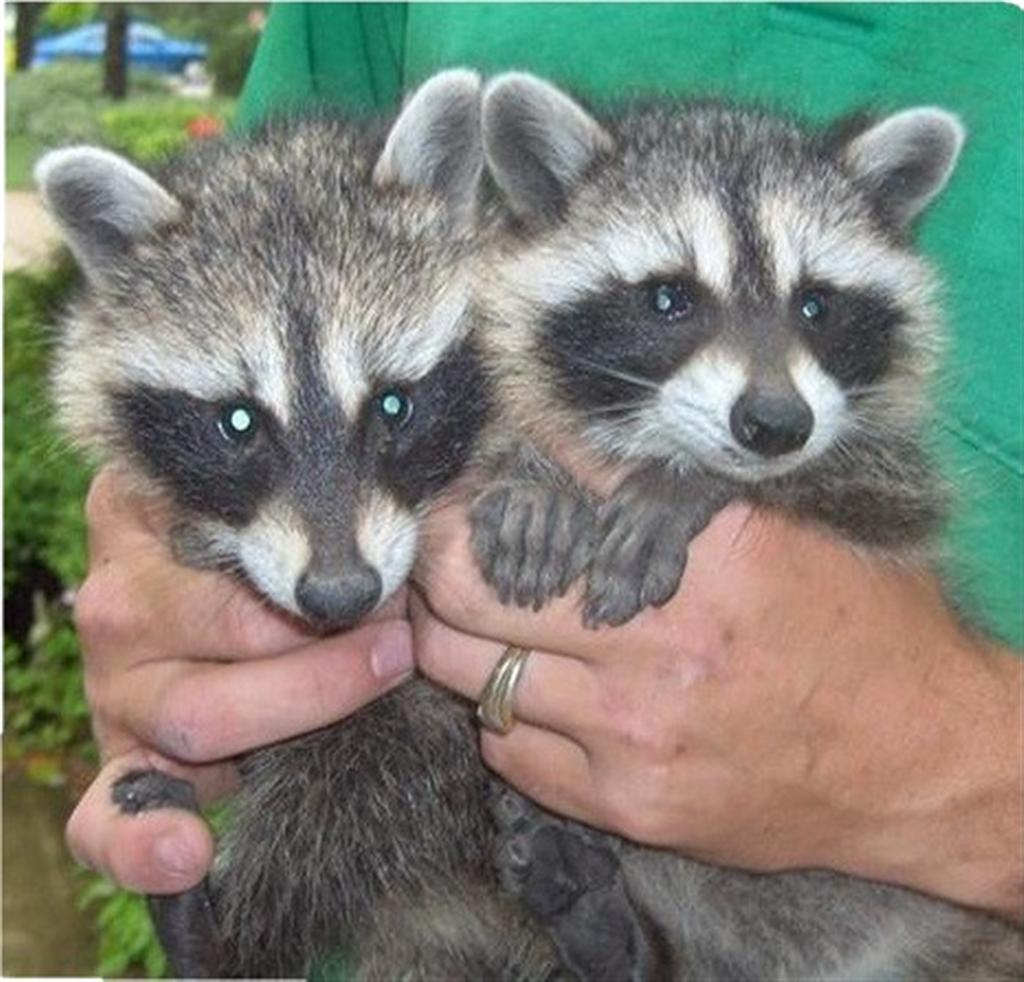 Pet of the Month pictures Raccoons As Pets