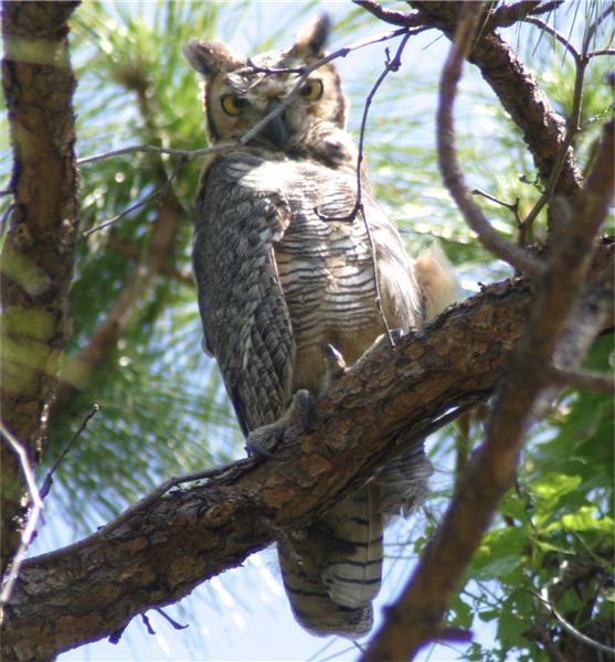 pets animals screech owls fdbbbc